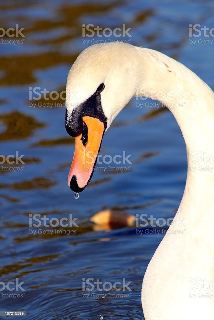 Swan Portrait royalty-free stock photo