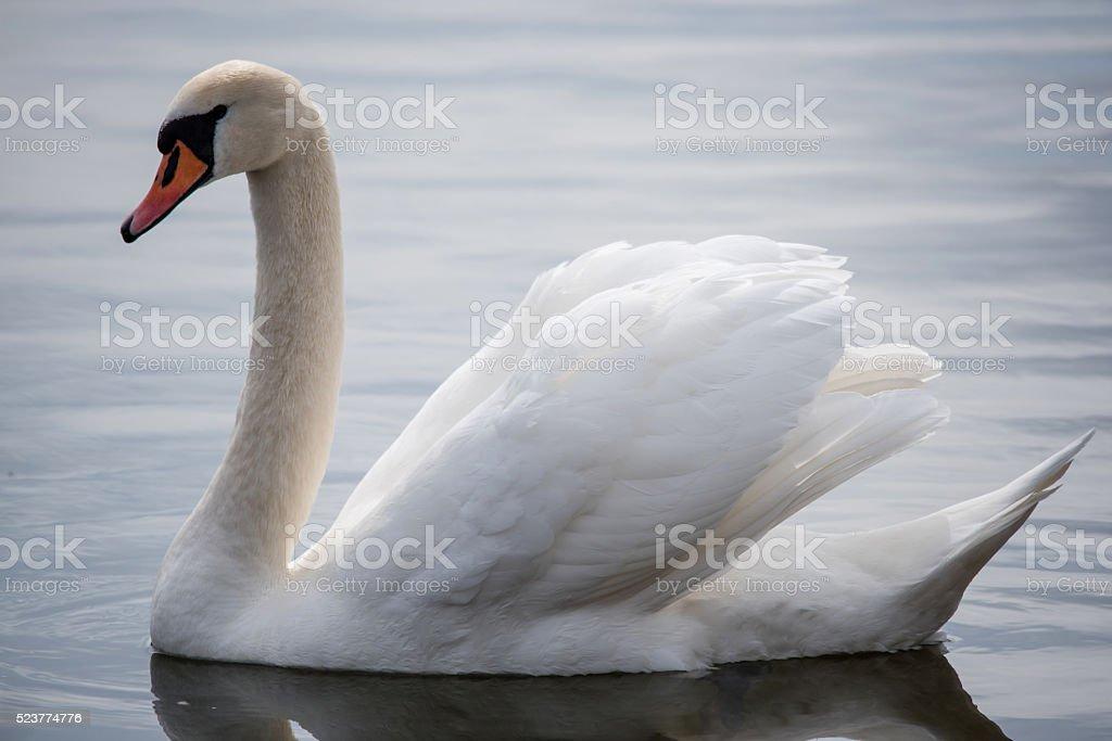 Swan Posing for Mate stock photo