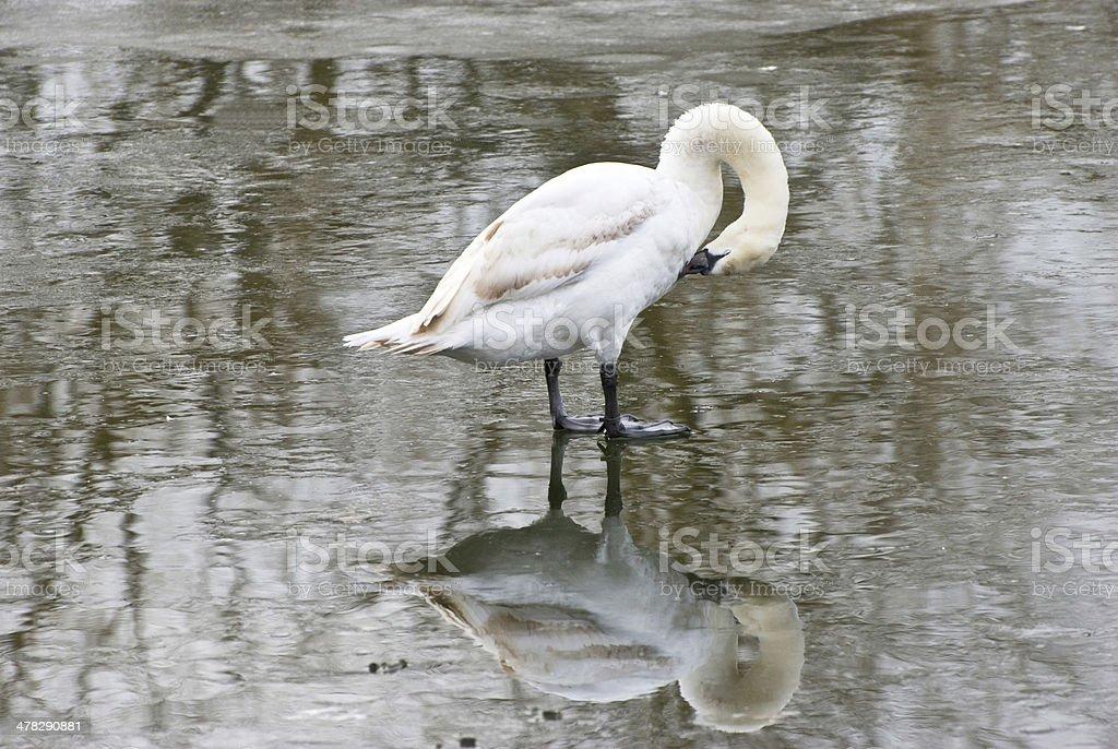 Swan preening on ice royalty-free stock photo