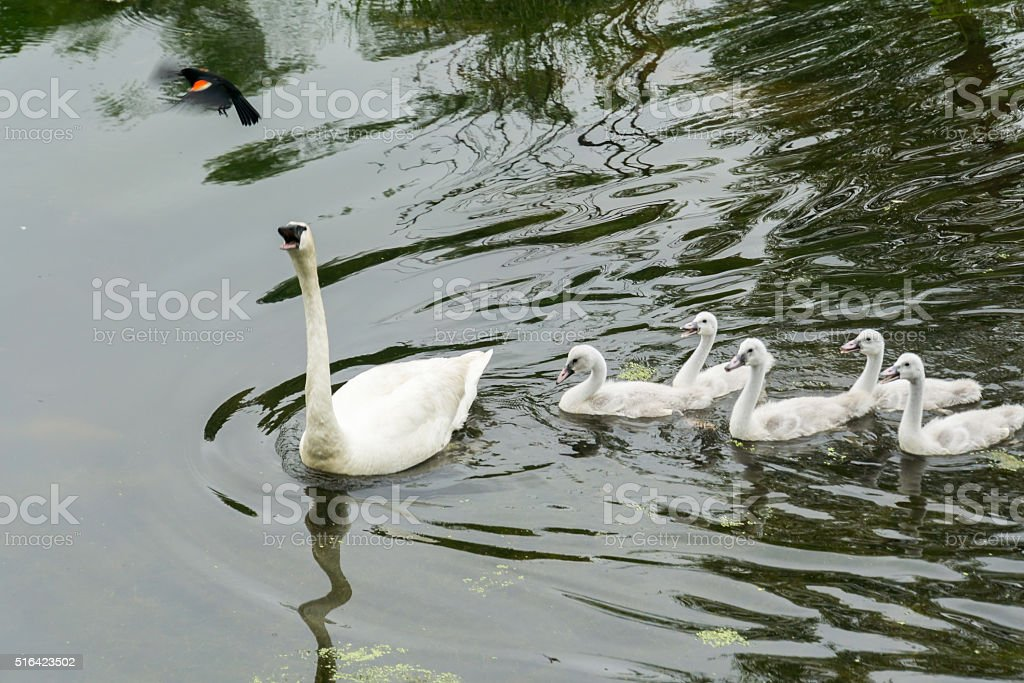 Swan Protects Babies From Bird stock photo