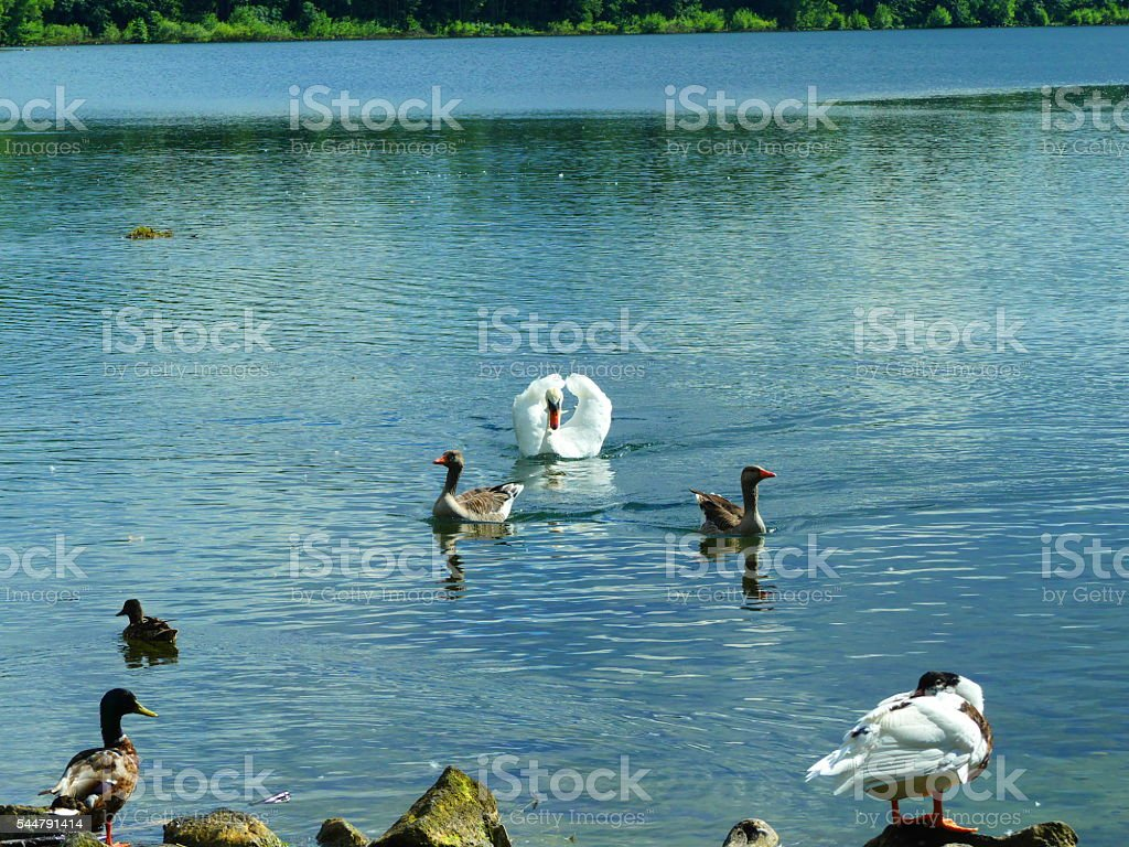swan puts to fight stock photo