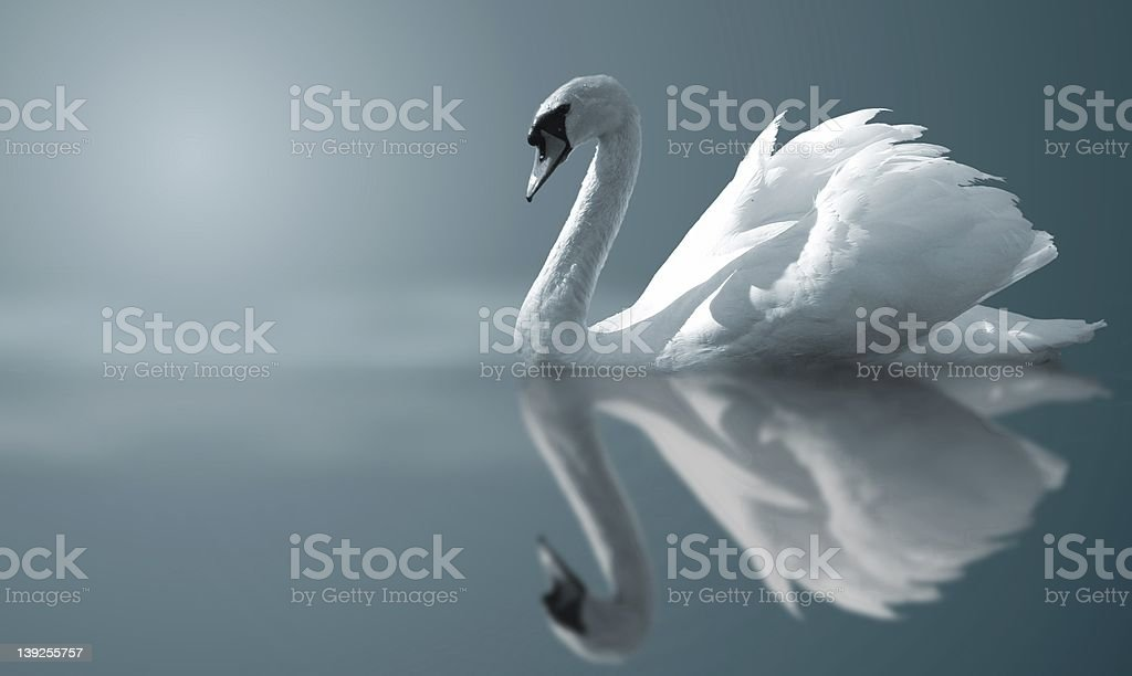 Swan reflections stock photo