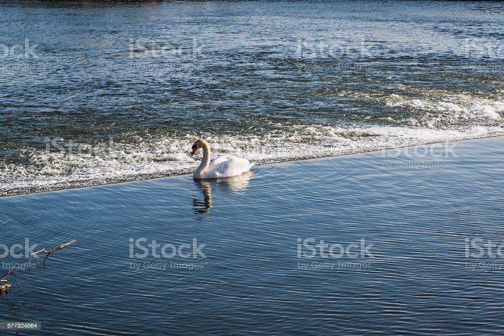 Swan, River Exe, Exeter, Devon, England, UK stock photo