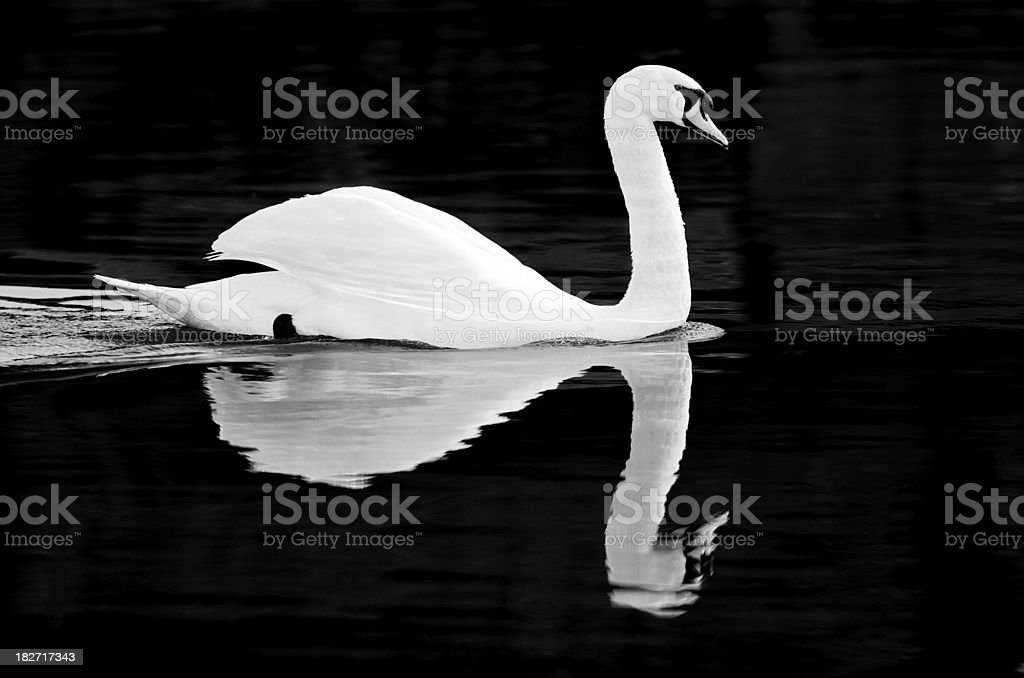 Swan River in Black and White stock photo
