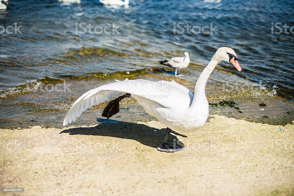 Swan running stock photo