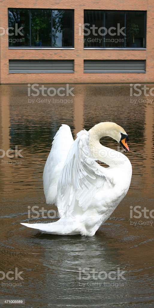 Swan spreading wings, building background royalty-free stock photo