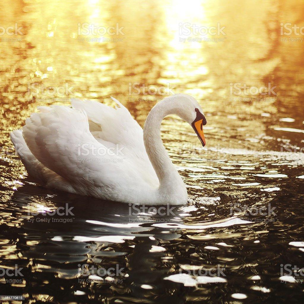 Cygne nageant dans le lac au coucher du soleil photo libre de droits