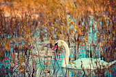 swan swimming in the lake