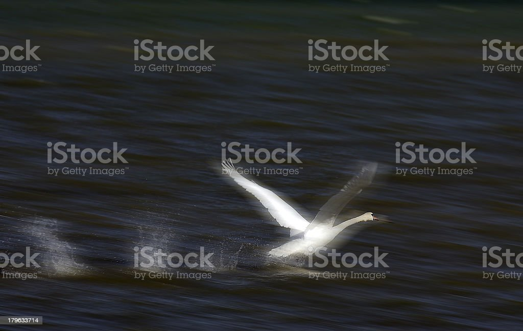 Swan take off. Motion blurred moment. stock photo