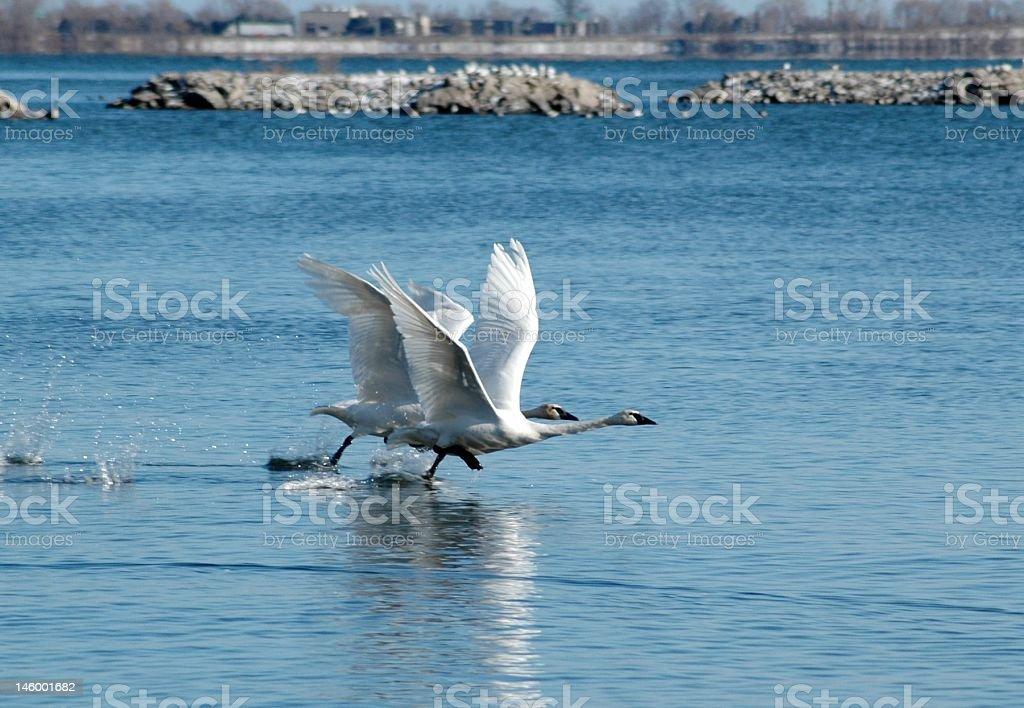 Swan Takeoff royalty-free stock photo