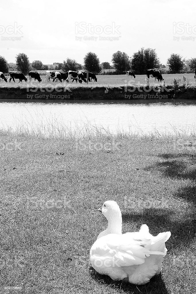 Swan guardare le mucche, Tamigi Lechlade foto stock royalty-free