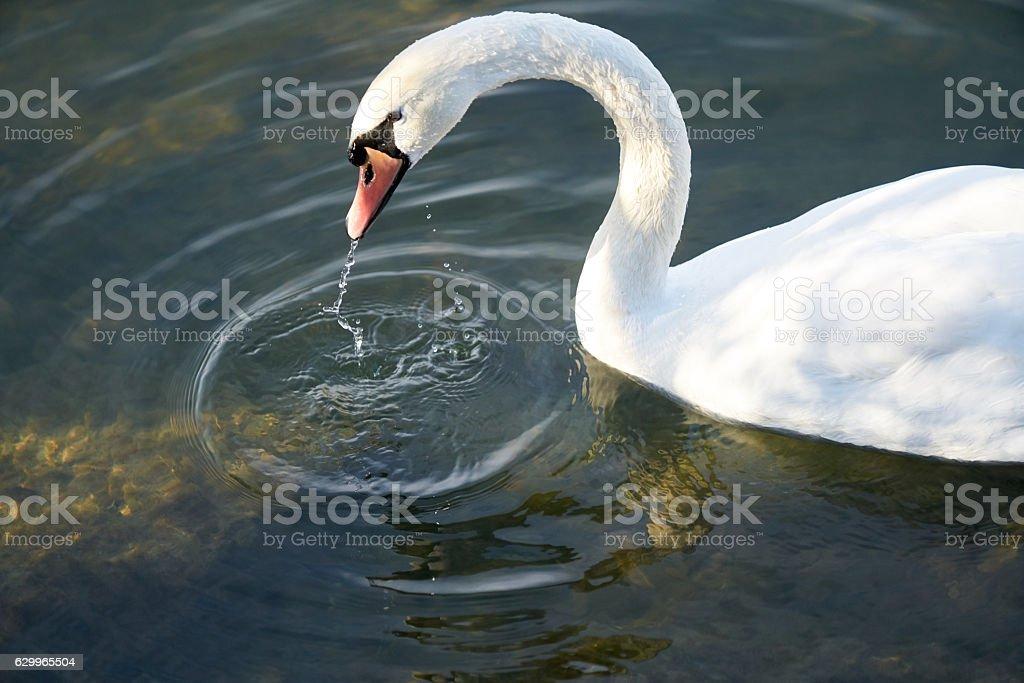 swan white stock photo