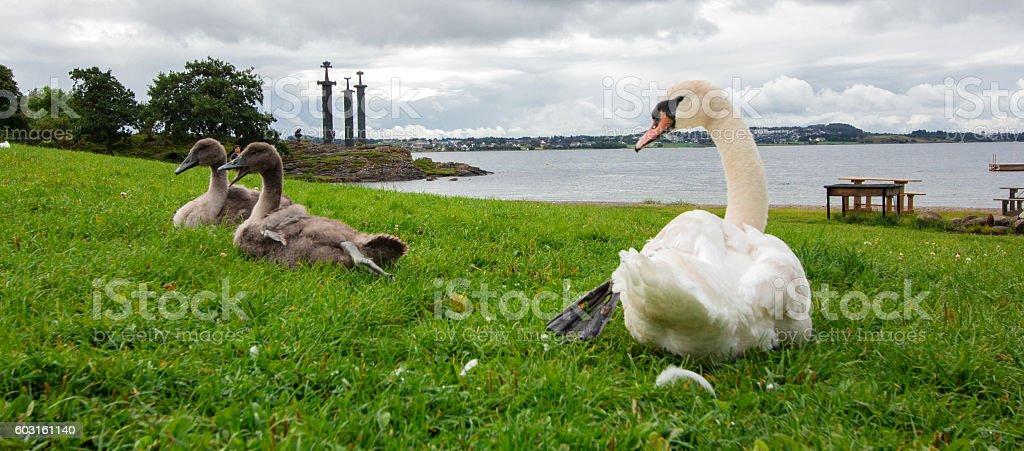 Swan. White swans. Goose. stock photo