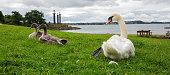 Swan. White swans. Goose.
