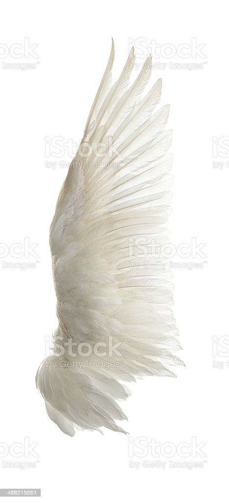 Swan wings on a white background stock photo
