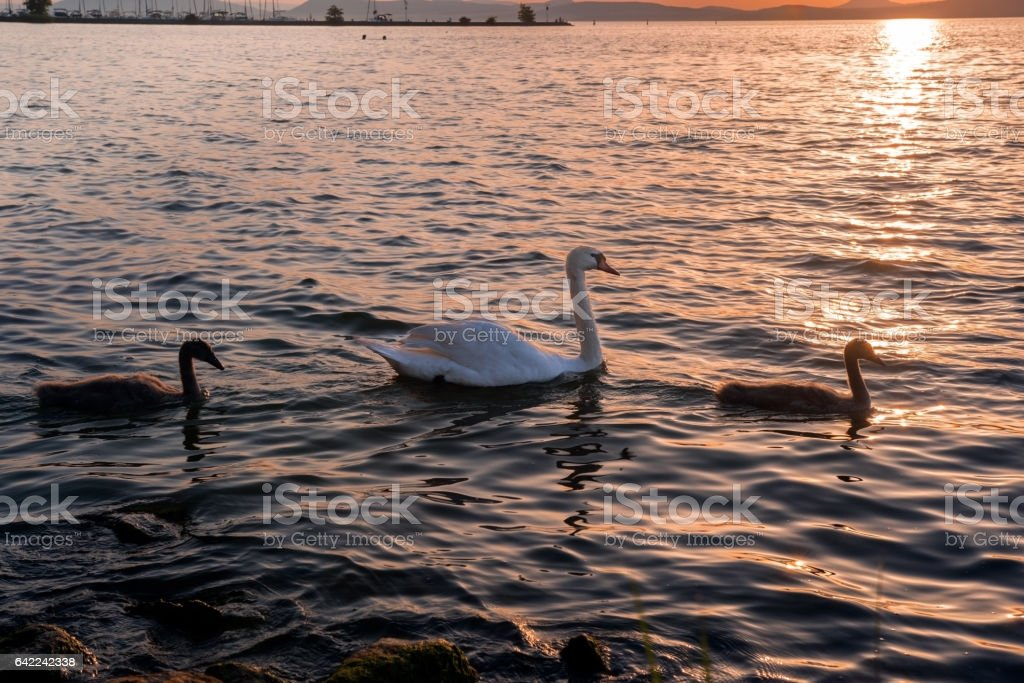 Swan with chicks on the lake at sunset stock photo