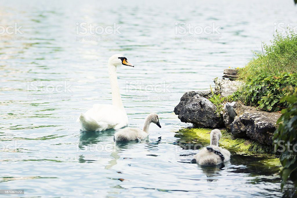 swan with chicks royalty-free stock photo