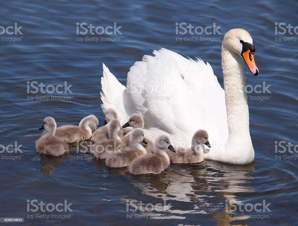 Swan with chicks stock photo