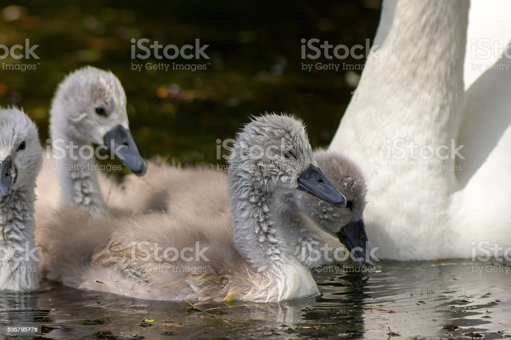 Swan with chicks, Ugly ducklings stock photo