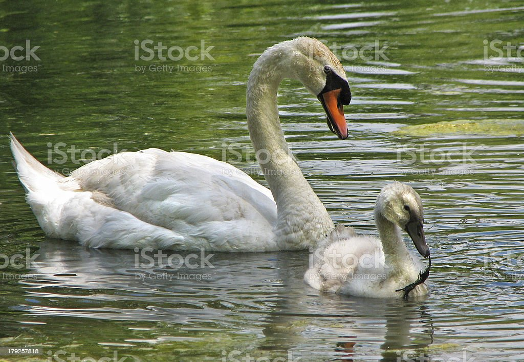 Swan with cygnet royalty-free stock photo