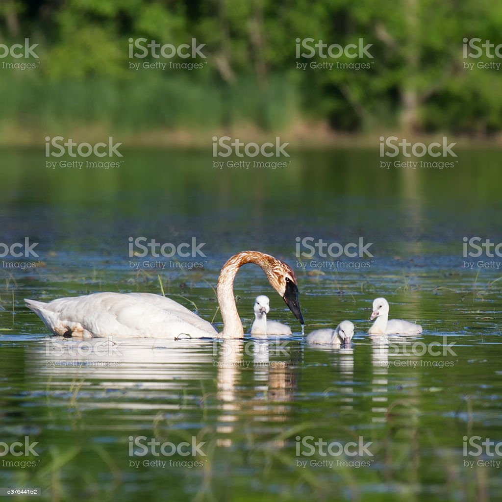 Swan with cygnets stock photo