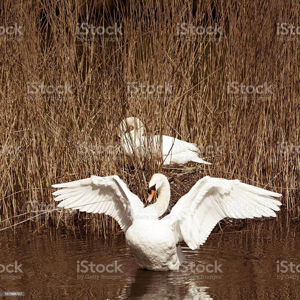 Swan with open wings in front of his nest royalty-free stock photo