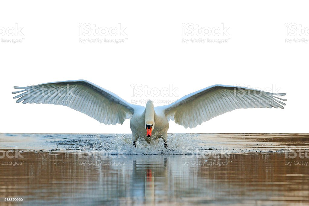 Swan with open wings isolated stock photo