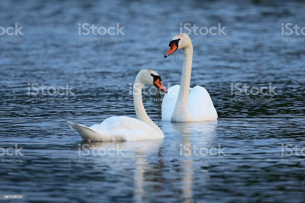Swan with young on the lake in their nature habitat stock photo