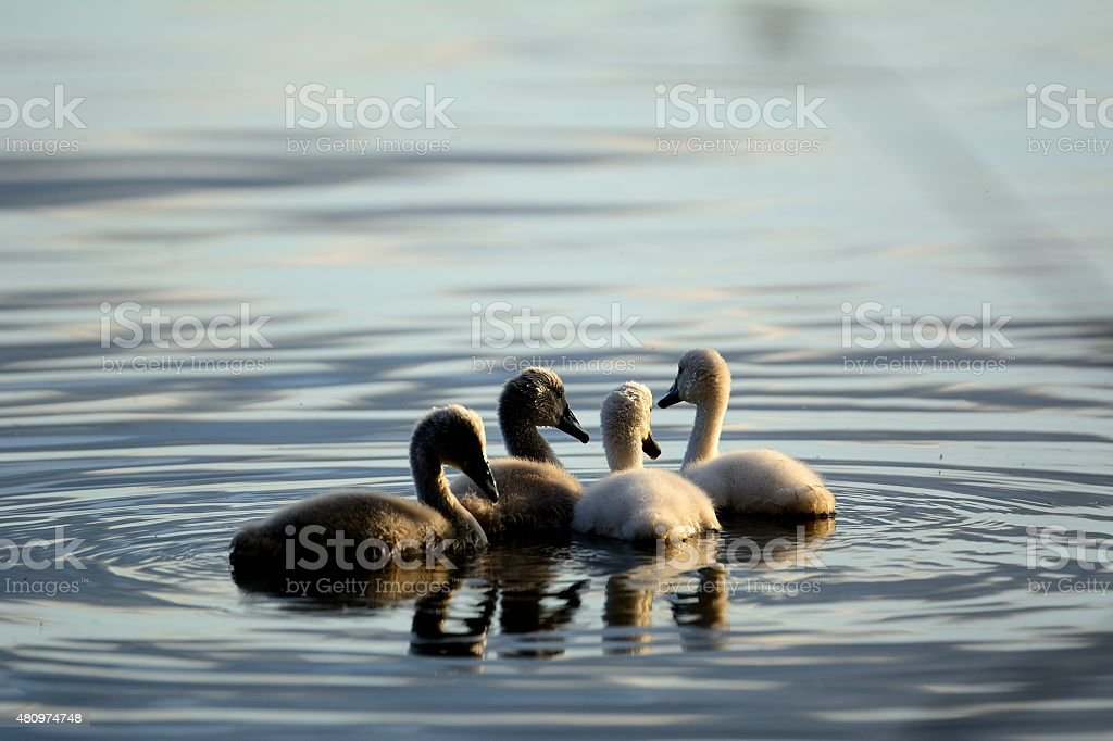 swanlings swimming in group evening sun stock photo