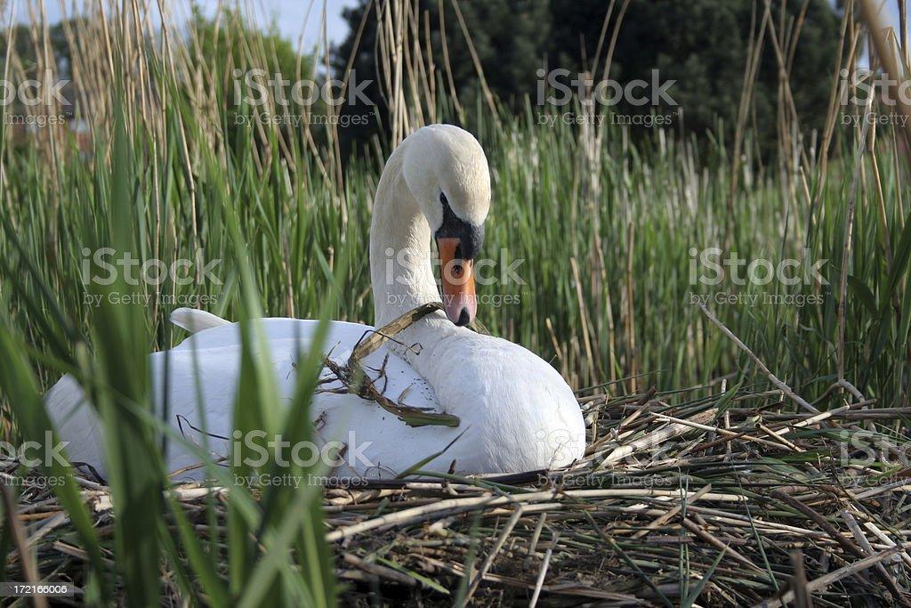 SwanOnNest stock photo