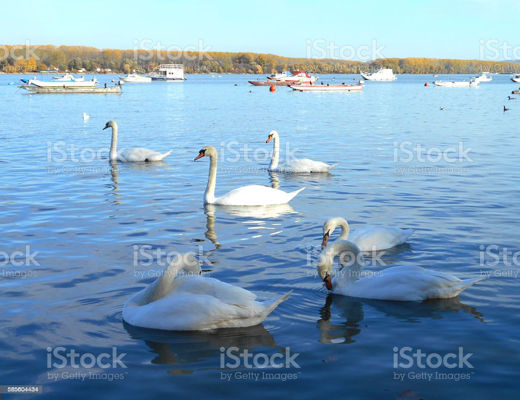 swans and boats floating on the calm water surface stock photo