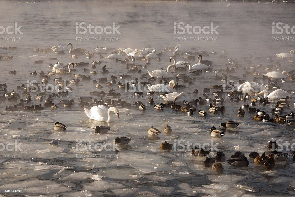 Swans and ducks in smoking cold water stock photo