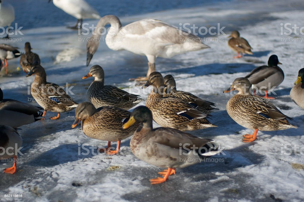 Swans and Ducks in winter stock photo