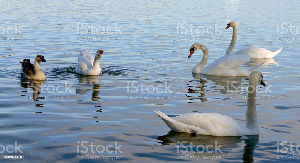 swans and geese floating on the calm water surface stock photo
