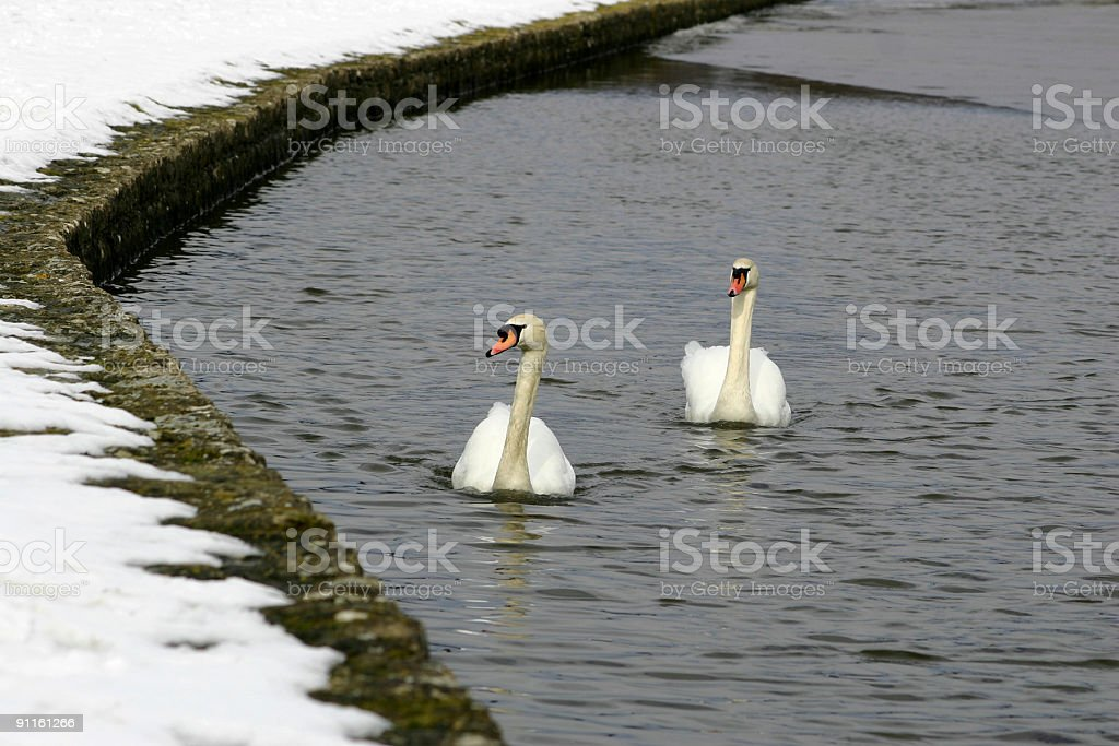 Swans at Leeds Castle in Kent, England stock photo