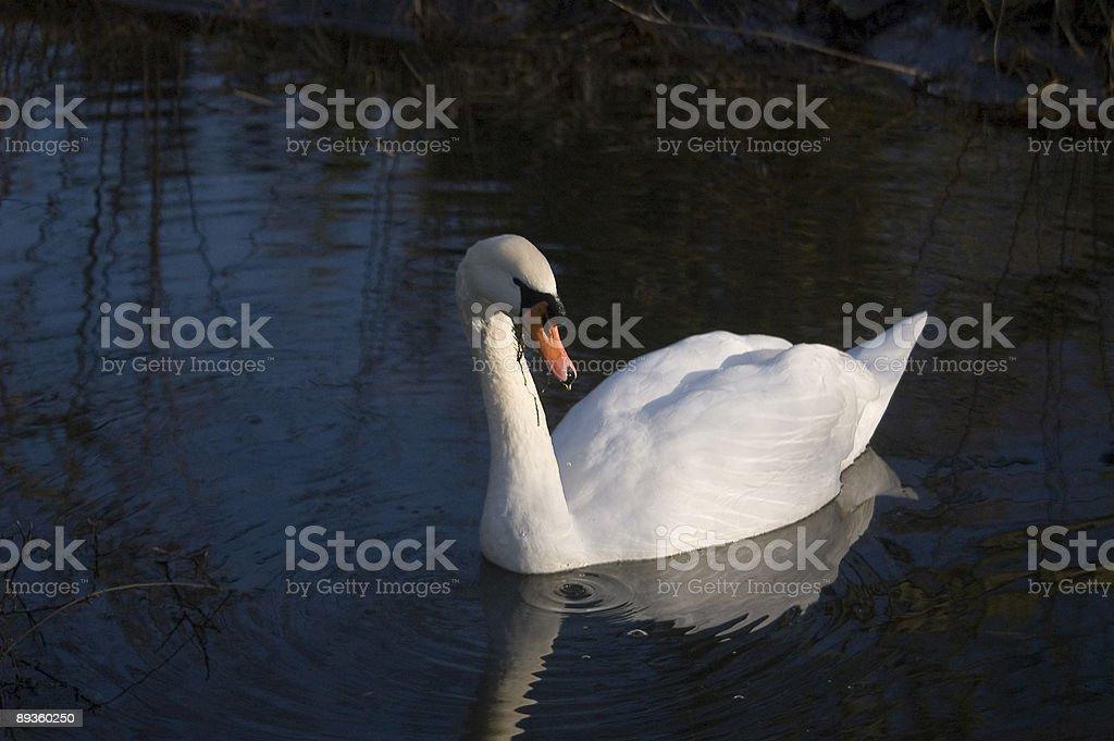 Swans at QH 1 royalty-free stock photo