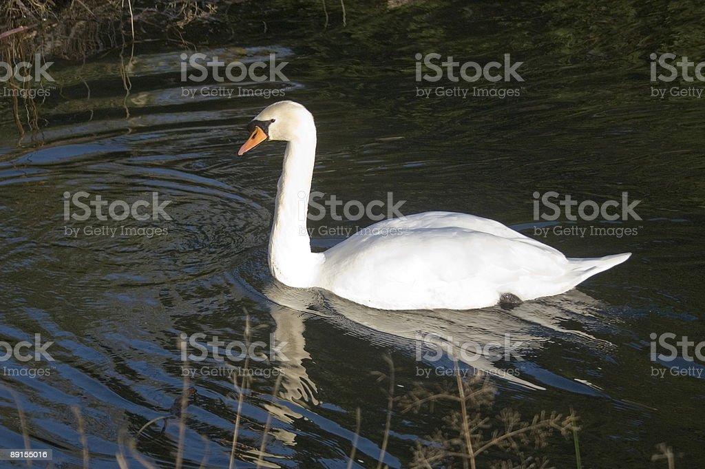 Swans at QH 2 royalty-free stock photo