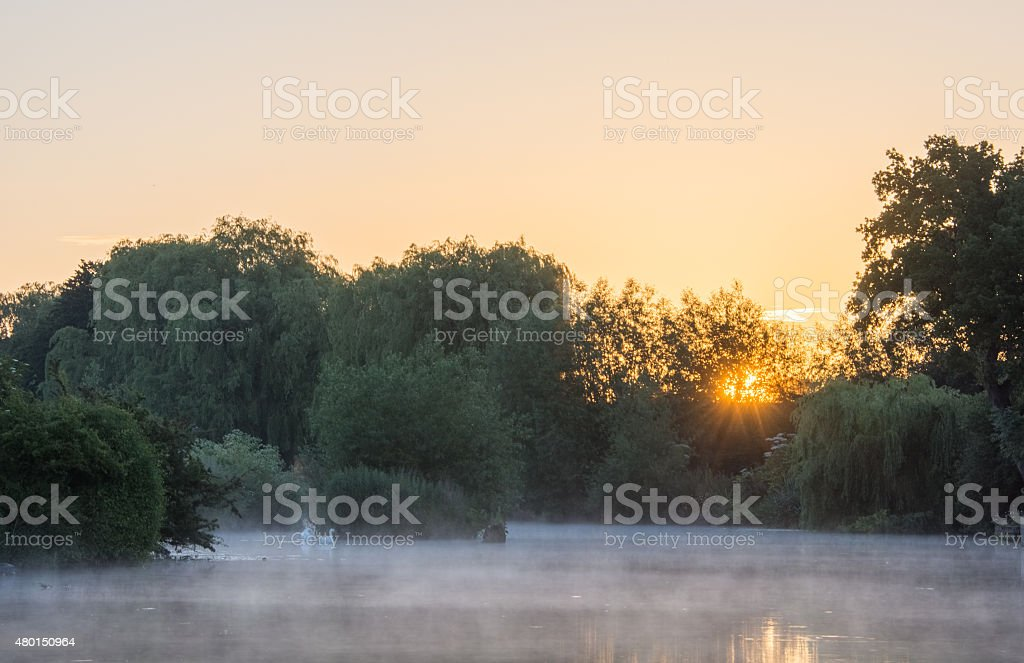 Swans at sunrise stock photo