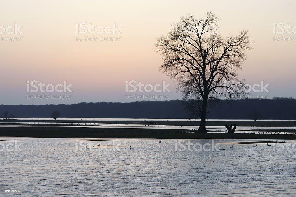 Swans at the sundown royalty-free stock photo