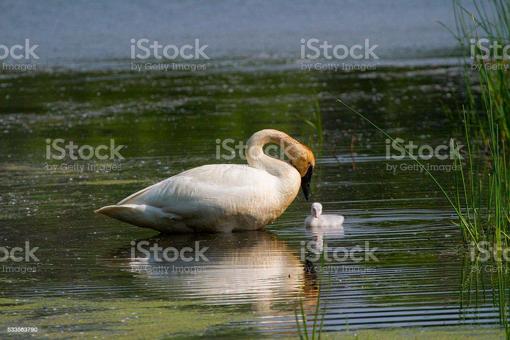 Swans Bonding stock photo