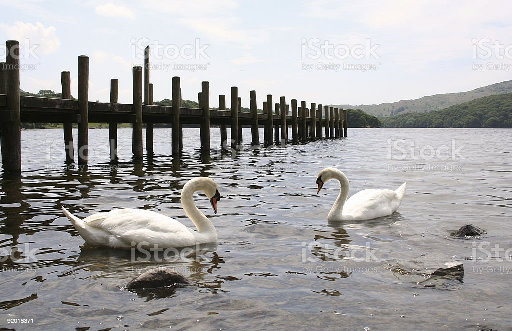 swans by the pier royalty-free stock photo