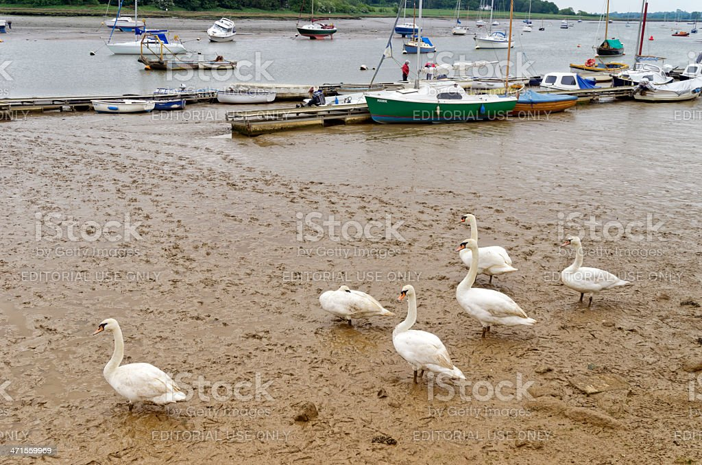Swans by the River Deben stock photo