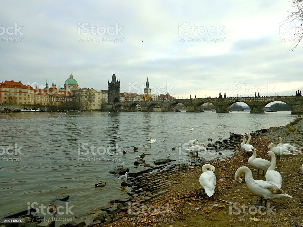 Swans by the riverside in Prague stock photo