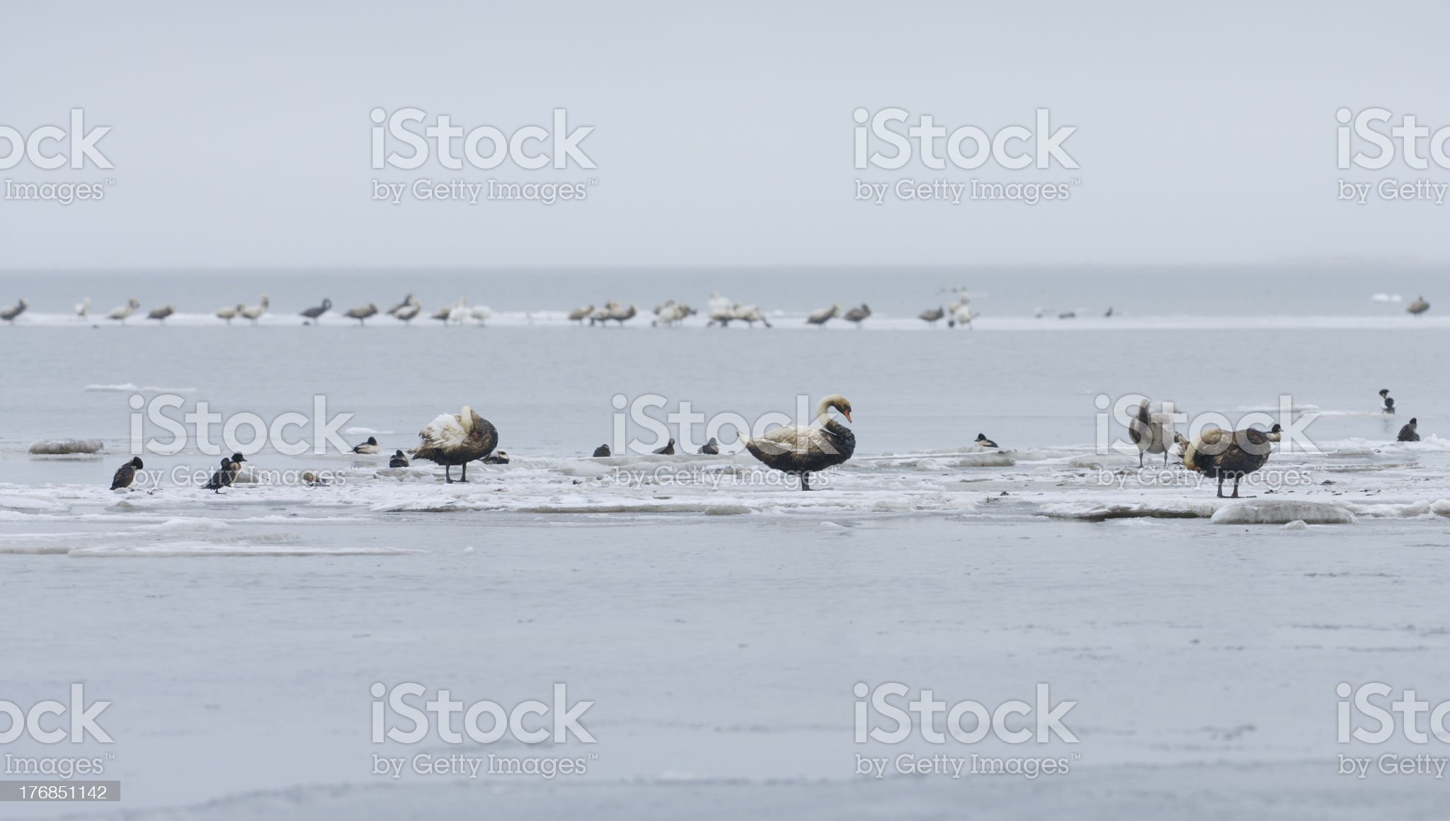 Swans covered with toxic raw oil. royalty-free stock photo