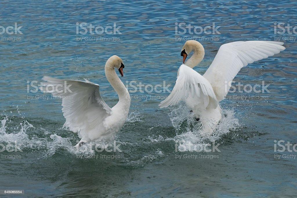 Swans dance, Lake Geneva, Switzerland stock photo