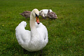 Swans family on the grass.