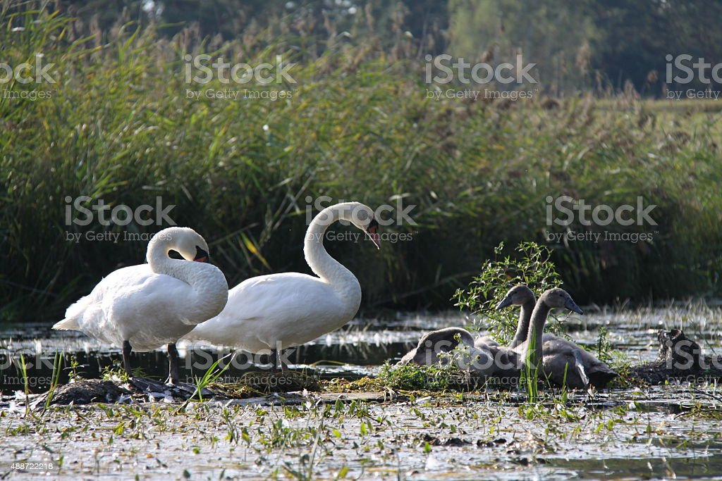 Swan's family stock photo