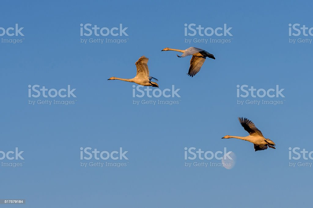 swans fly moon sky birds stock photo