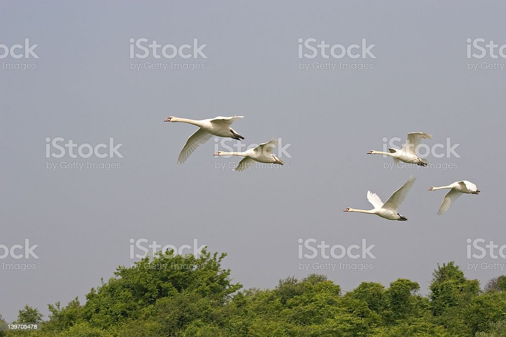 Swans Flying over Gateway National Park royalty-free stock photo