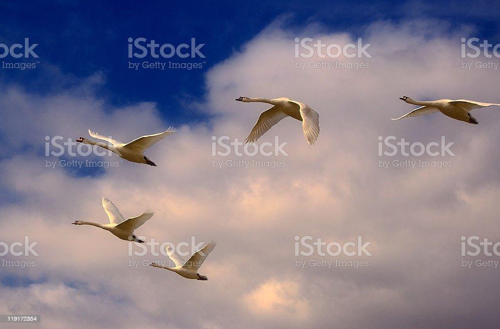 Swans In Flight. stock photo